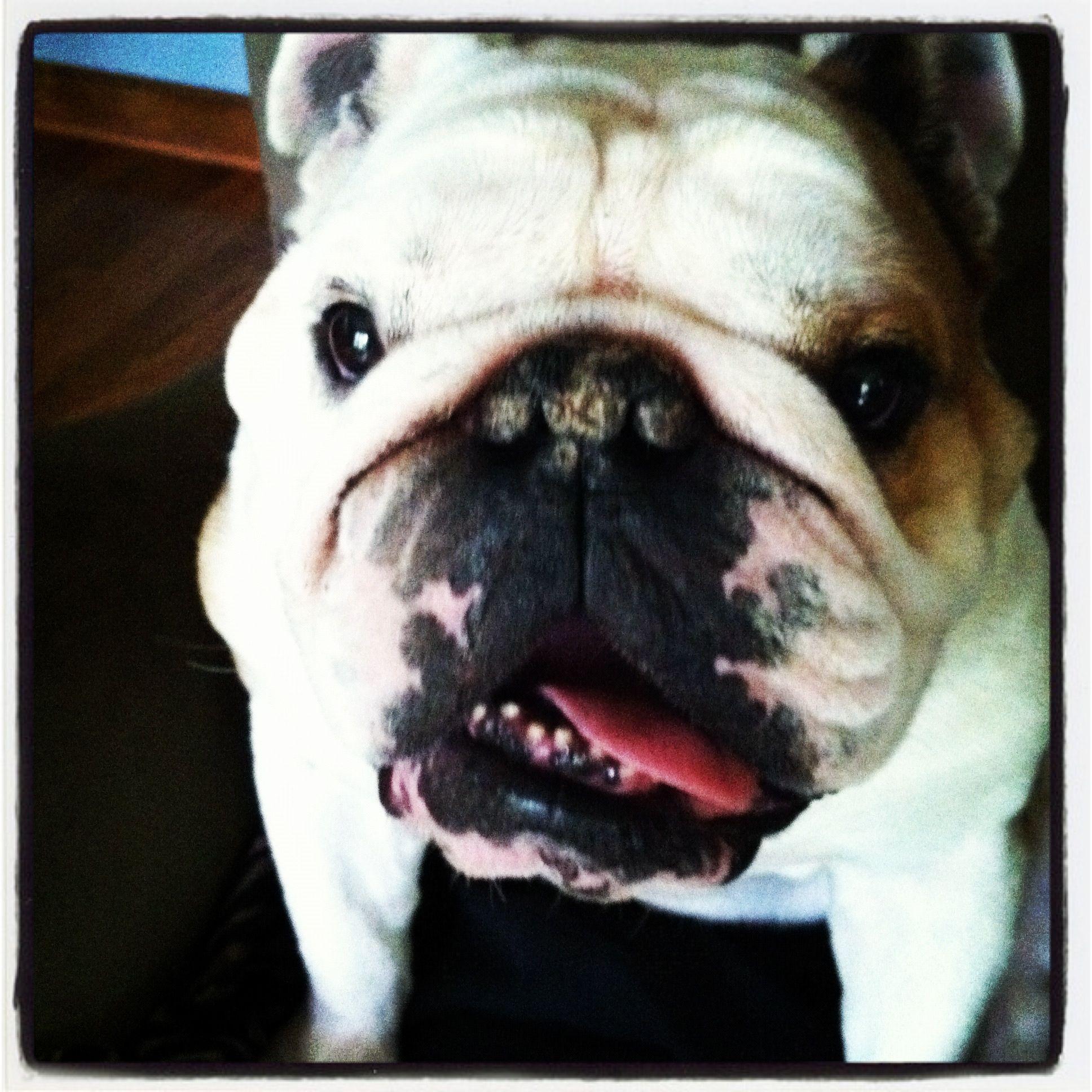 My Cugine Bulldog French Bulldog Dogs