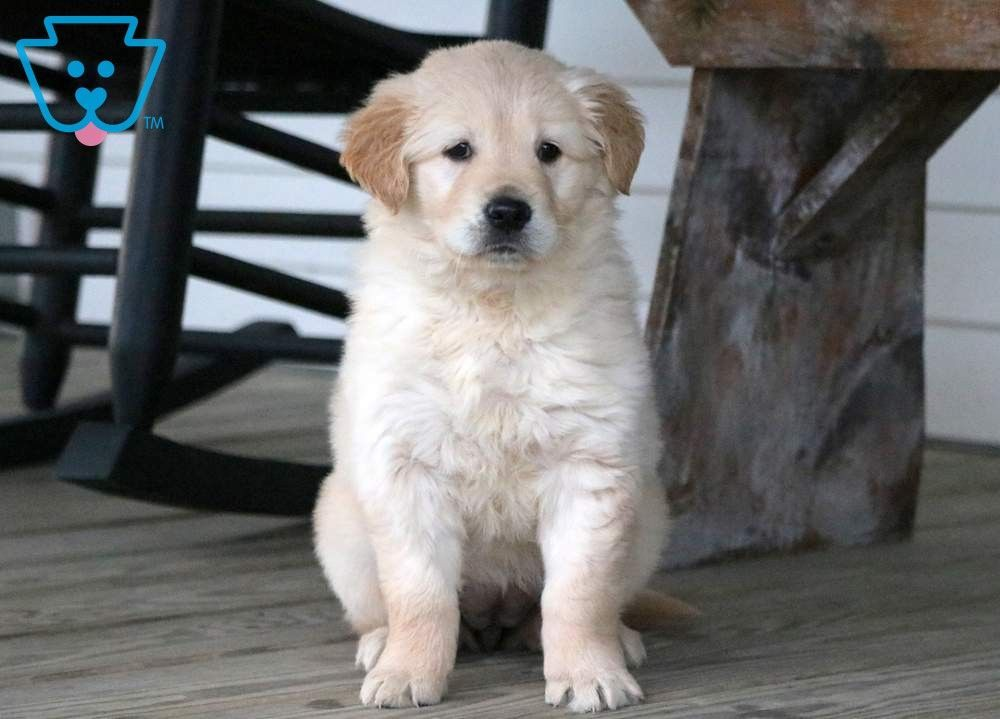 Victoria Golden Retriever Puppy For Sale Keystone Puppies Goldenretriever Keystonepuppies Puppies Golden Retriever Labrador Puppy