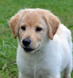 Adopt Max On Golden Retriever Lab Mix Dogs Golden Retriever Animals