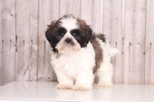 Shih Tzu Puppy For Sale In Mount Vernon Oh Adn 38587 On Puppyfinder Com Gender Male Age 8 Weeks Old Shih Tzu Puppy Puppies For Sale Puppies