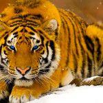 تحميل أحلى صور النمر صور نمر بري Pet Tiger Tiger Pictures Cat Wallpaper
