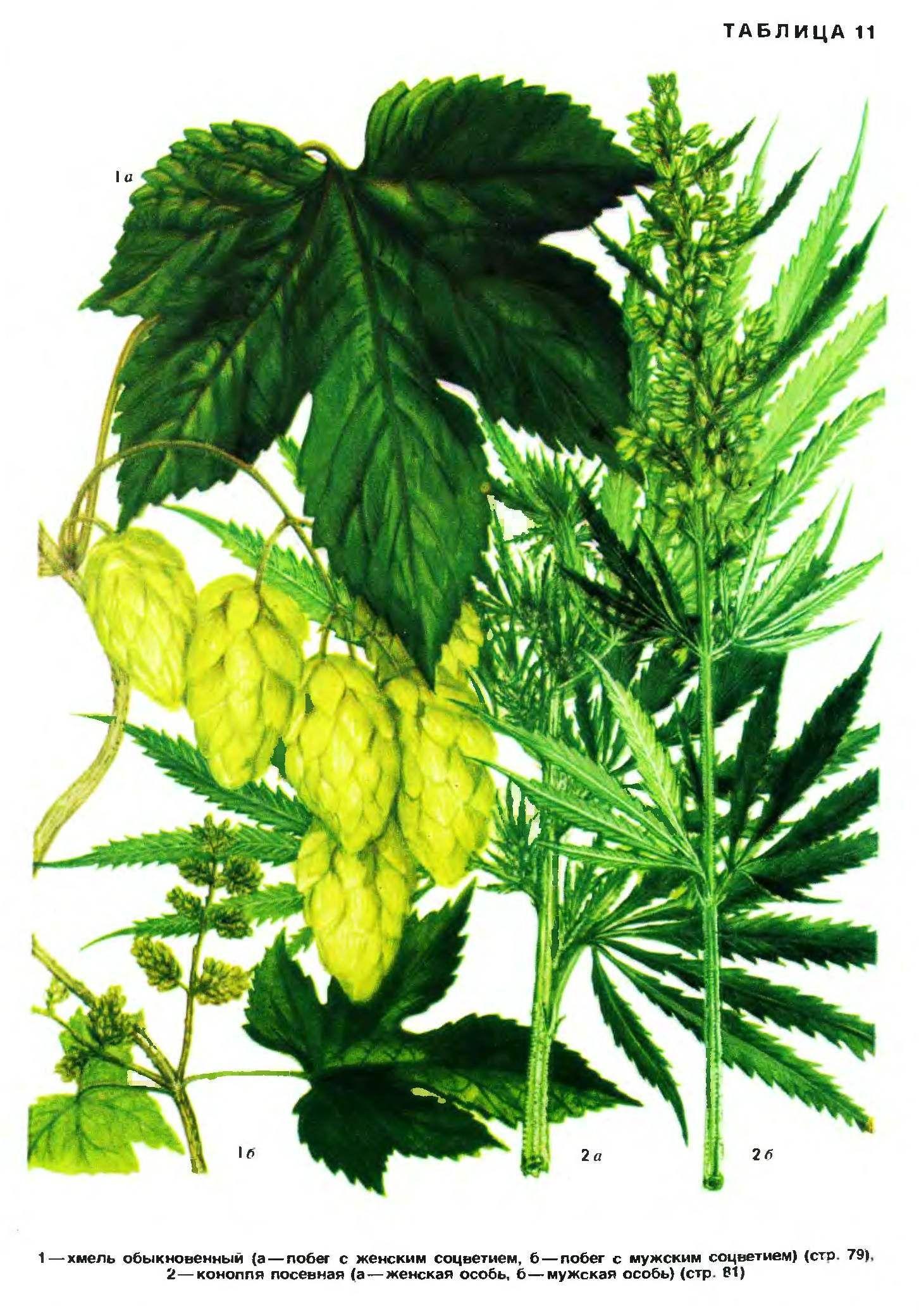 Хмель и конопля автоцветущие марихуаны