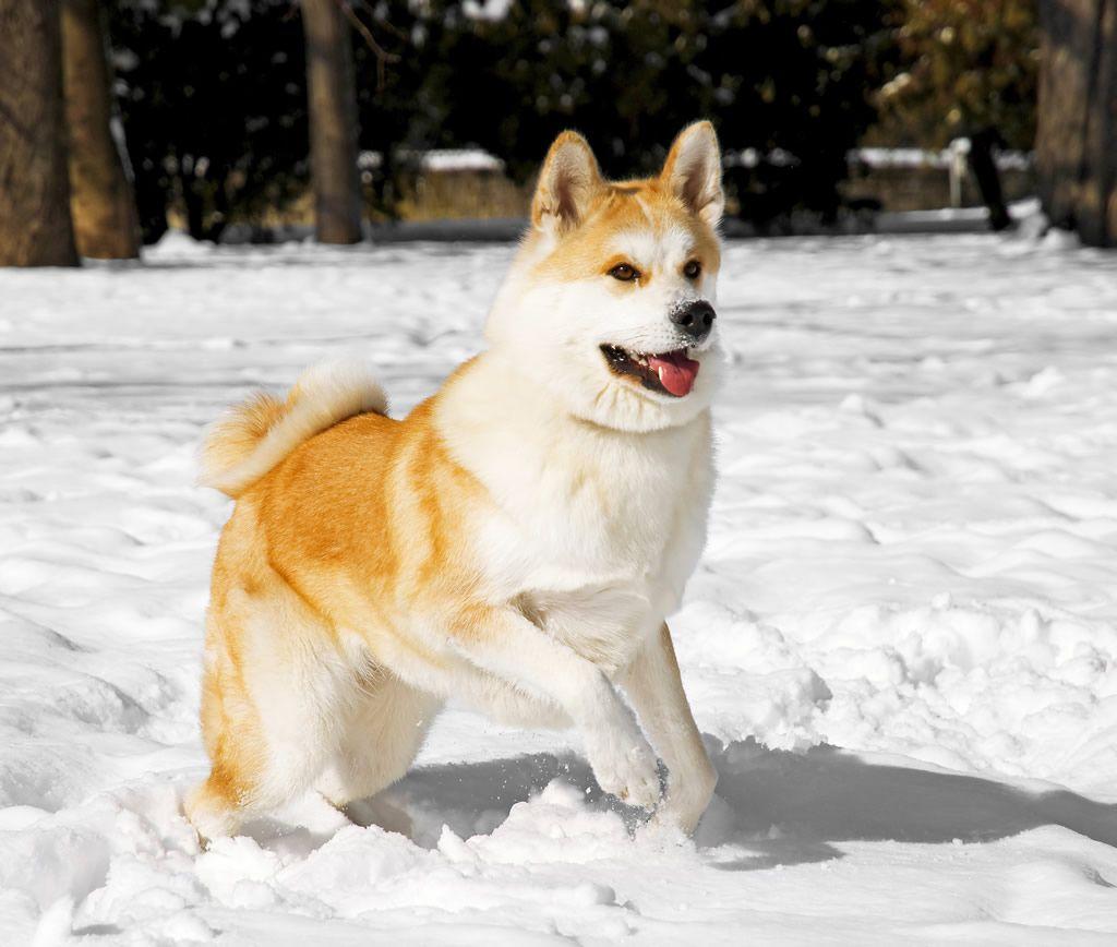 AkitaInu Expensive dogs, Most expensive dog, Akita dog