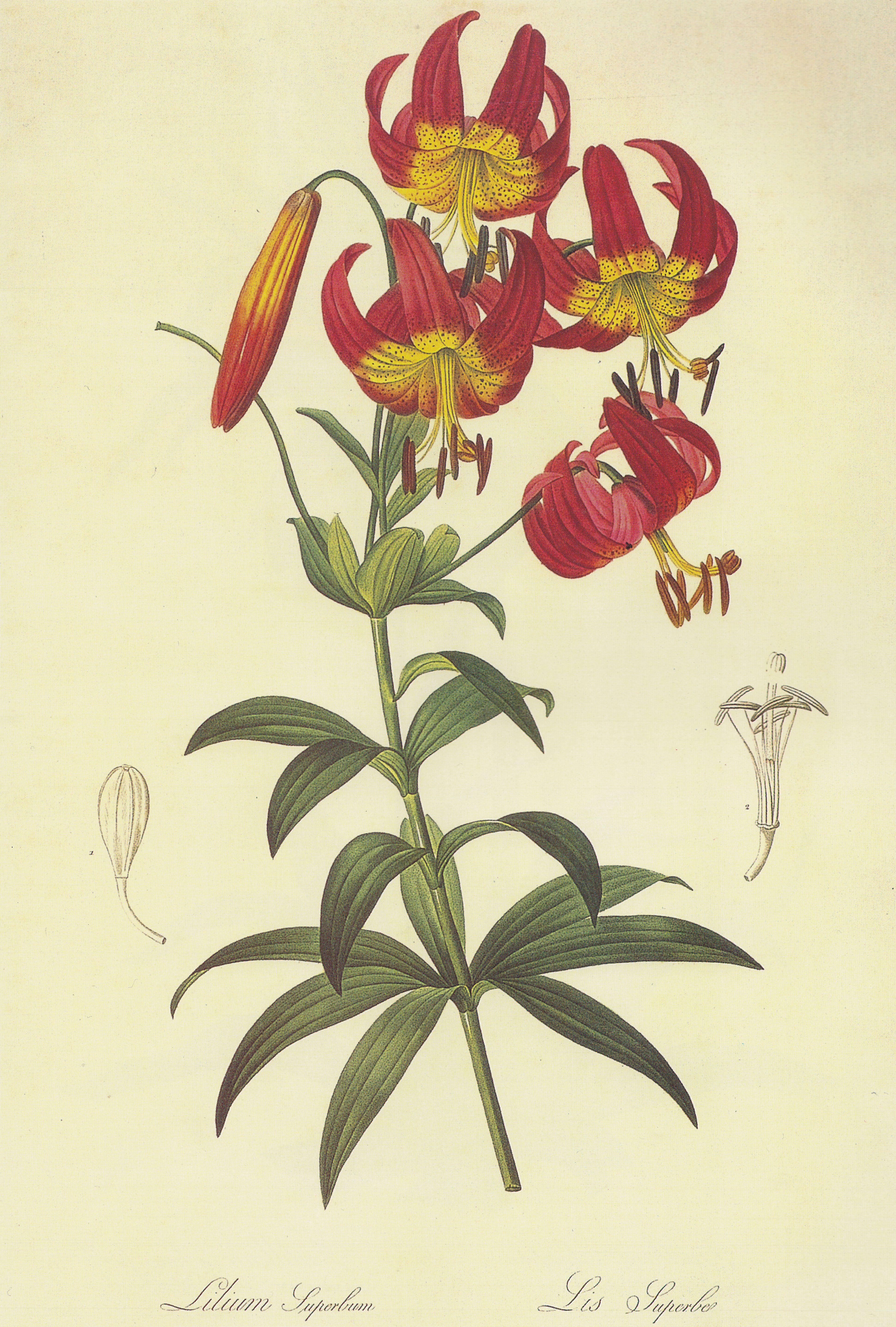 Ботанические картинки, женщину