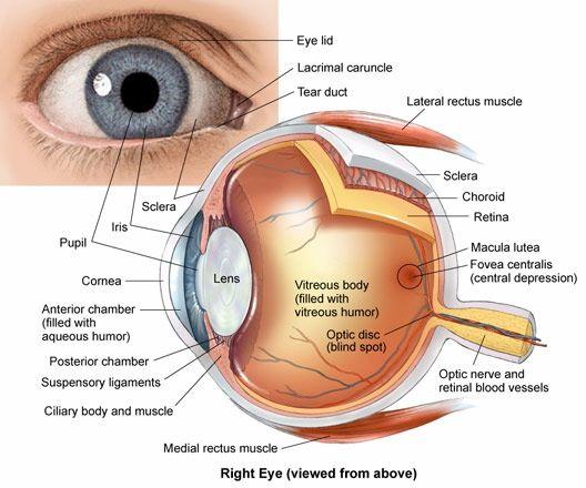Eye anatomy | Eyes | Pinterest | Fisiología, Anatomía y Modulos