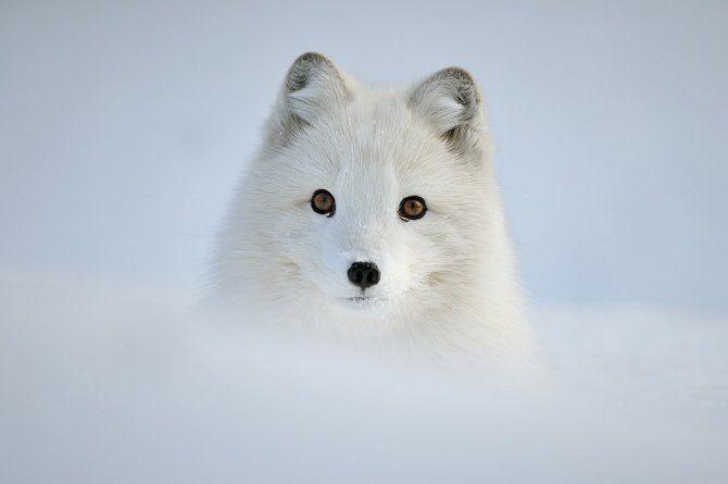 #fox #snow