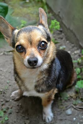 Beauty Back To Basics Corgi Chihuahua Mix Corgi Mix Breeds