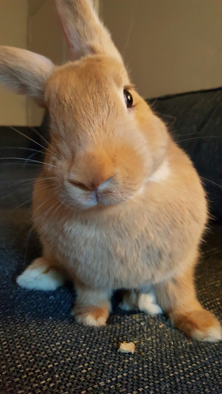 Sup babs the flemish giant sweetheart bunnies pinterest