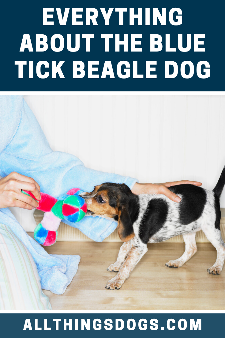 As long as the Blue Tick Beagle dog has appropriate