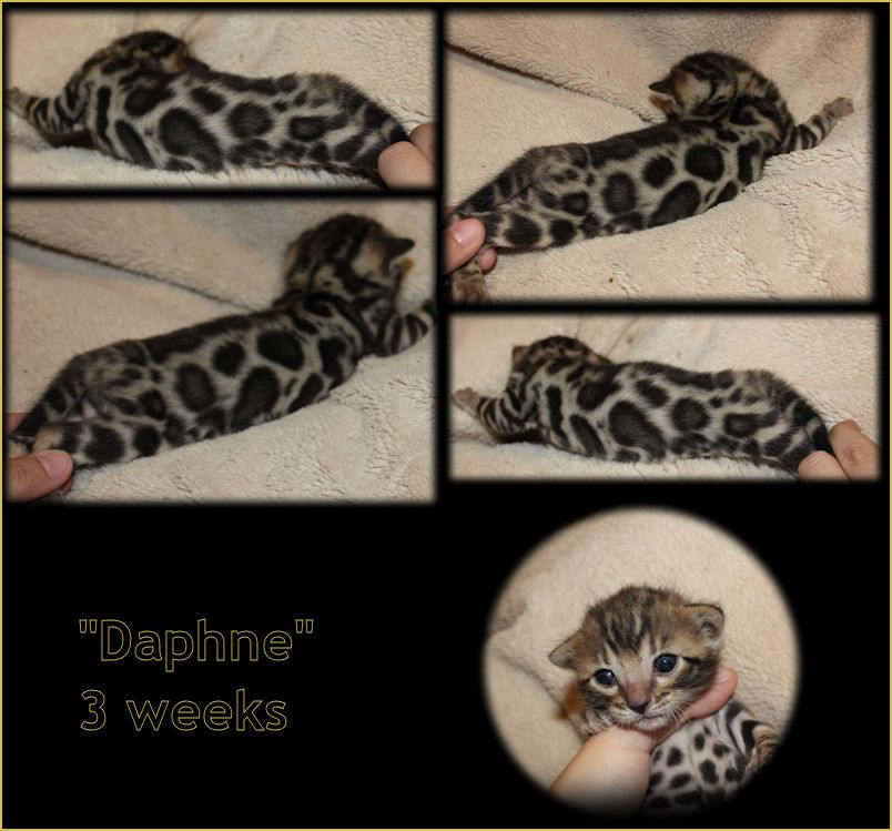 Bengal Cat Breeder Kittens For Sale In Florida Bellarista
