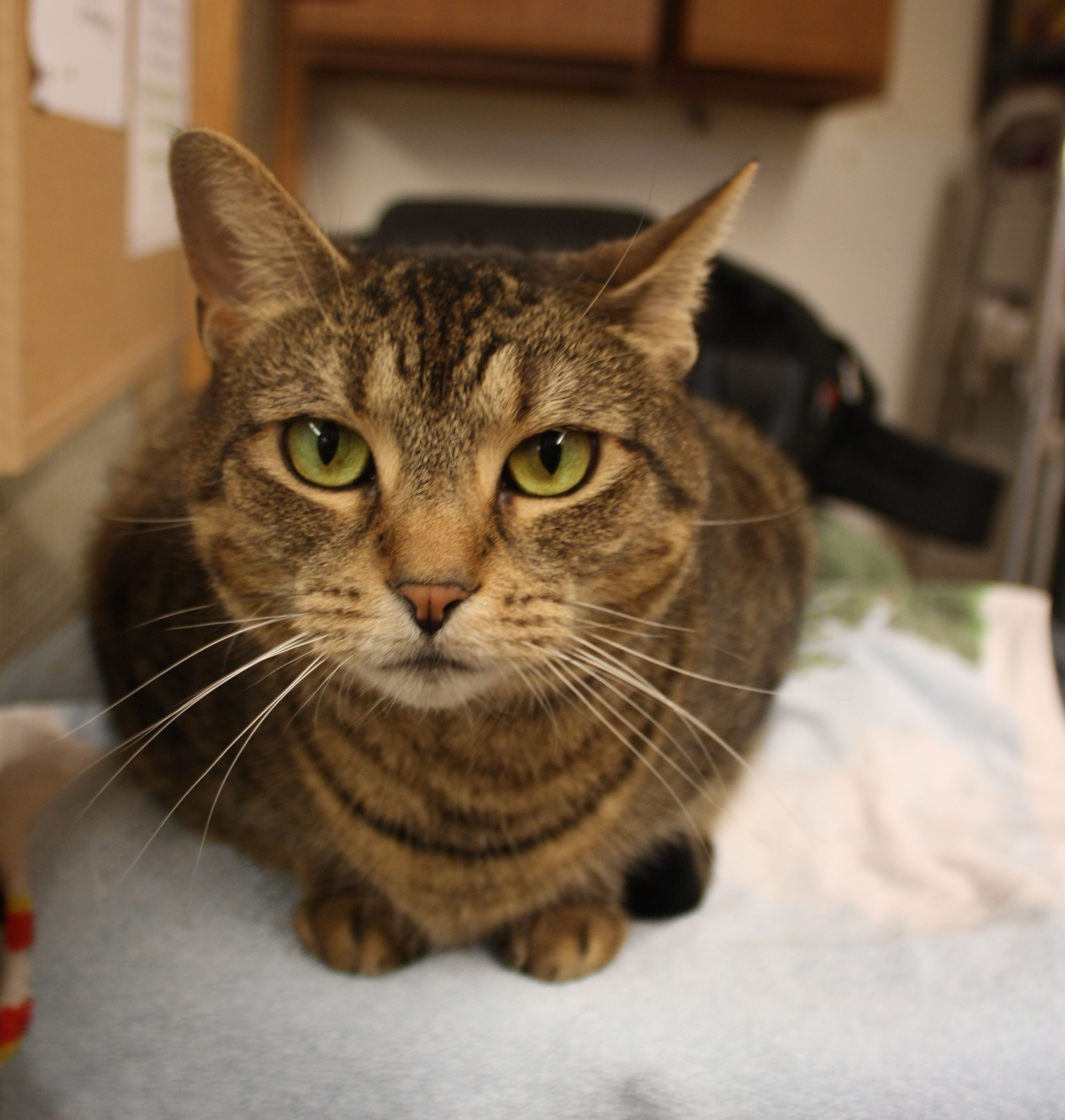 Rhianna is a beautiful cat available for adoption at the