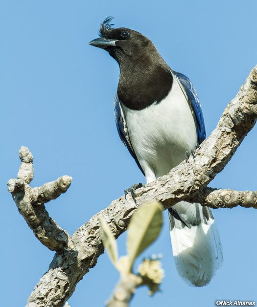 Curl-crested Jay (Cyanocorax cristatellus) by Nick_Athanas