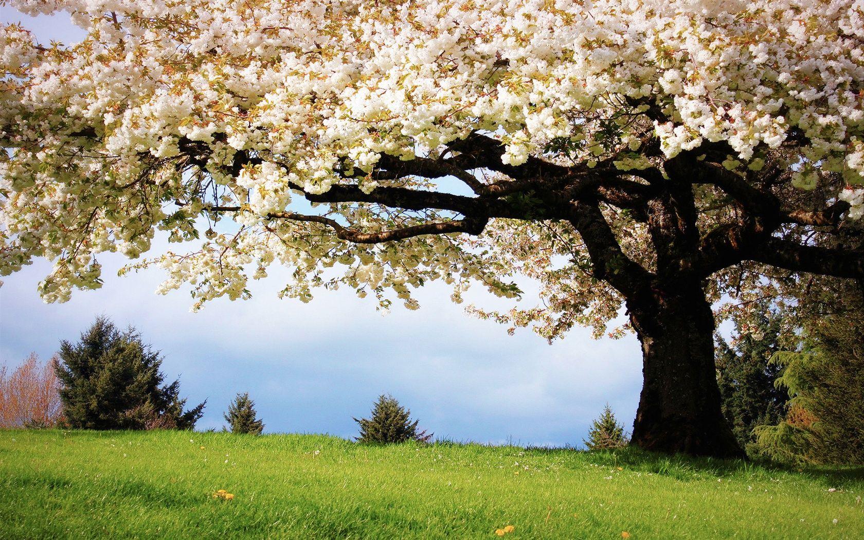 Natur Frühling, die Kirschbäume, weißen Kirschblüten in ...