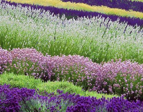 righe di fiori