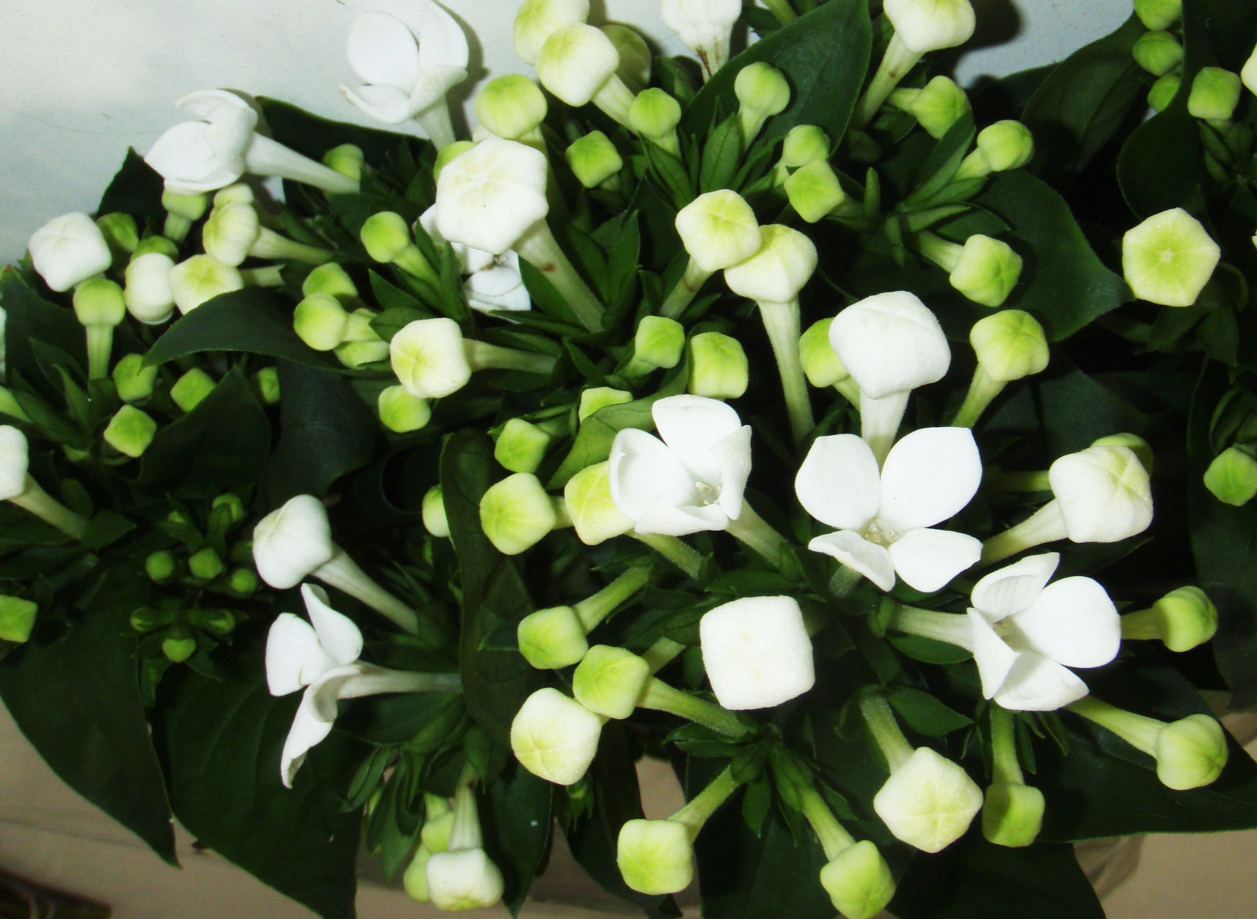White Bouvardia Gives A Delicate Touch To Your Bouquet Wholesale Flowers Flower Names Wedding Arrangements