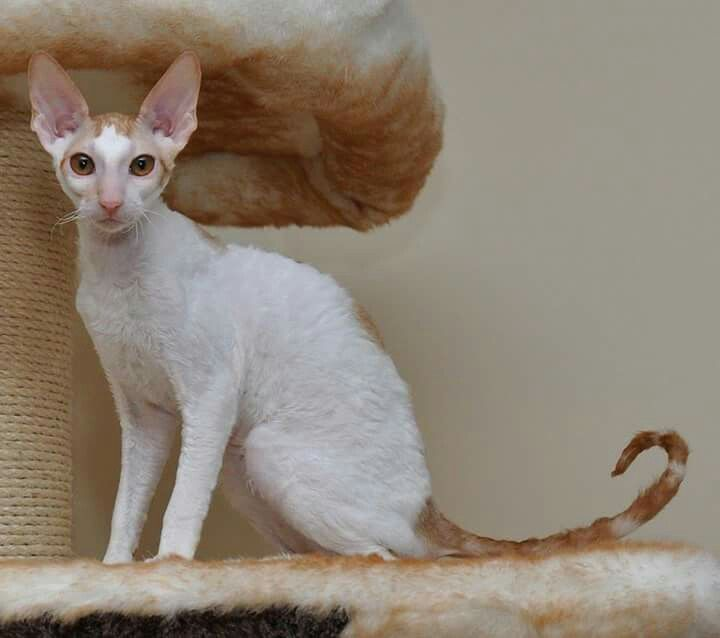 Red Tabby And White Cornish Rex Cats Friends Time