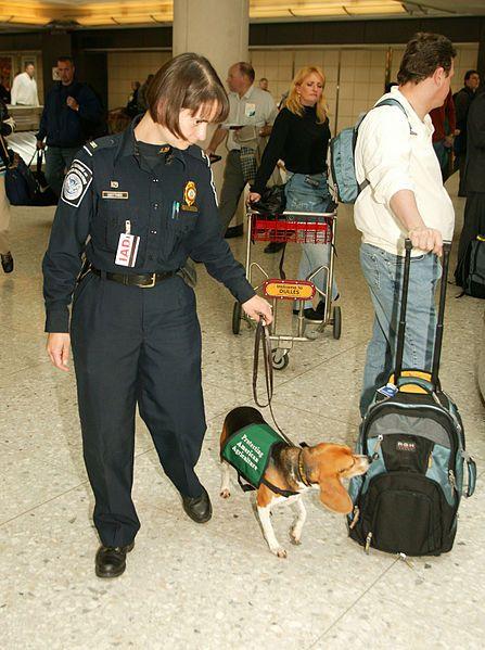 How To Avoid A Us Customs Fiasco Smartest Dog Breeds Beagle