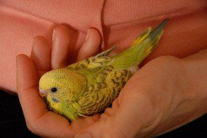 http://www.budgiewiki.com/caring/guide-for-bringing-home-a-new-budgie.html … Guide for bringing home a new budgie