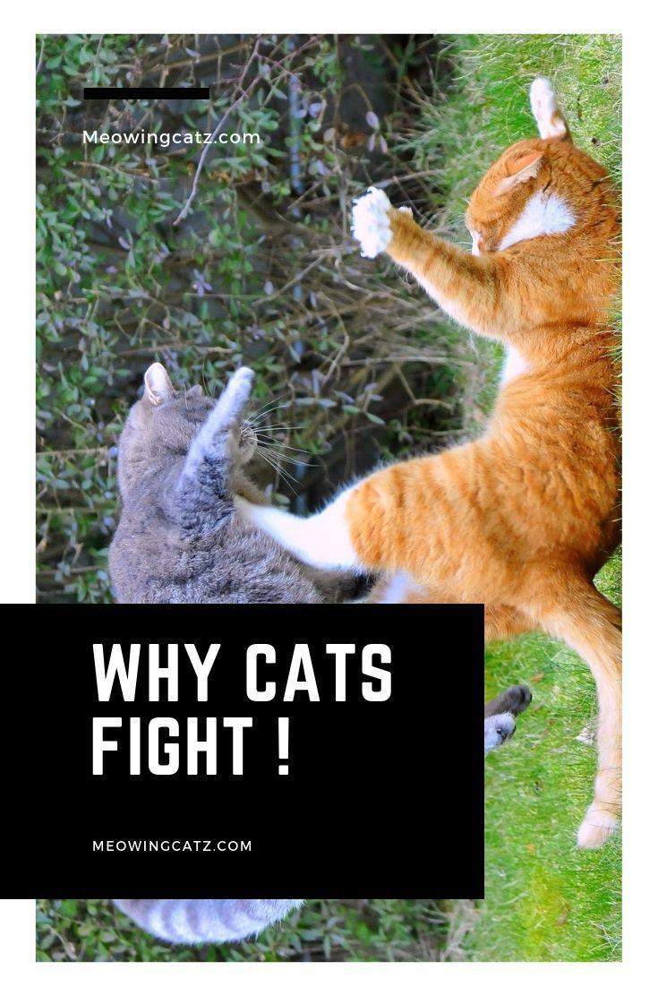 Understanding Why Cats Fight ! Cat behavior, Cat