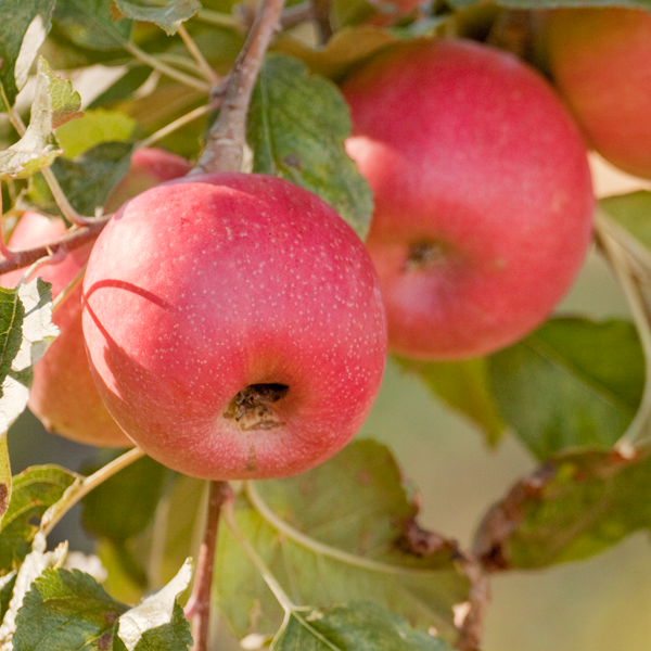 Your Fruit Trees Need Proper Pollination To Be Fruitful And They Have A Variety Of Pollinating Needs Pink Lady Apples Apple Tree Fruit
