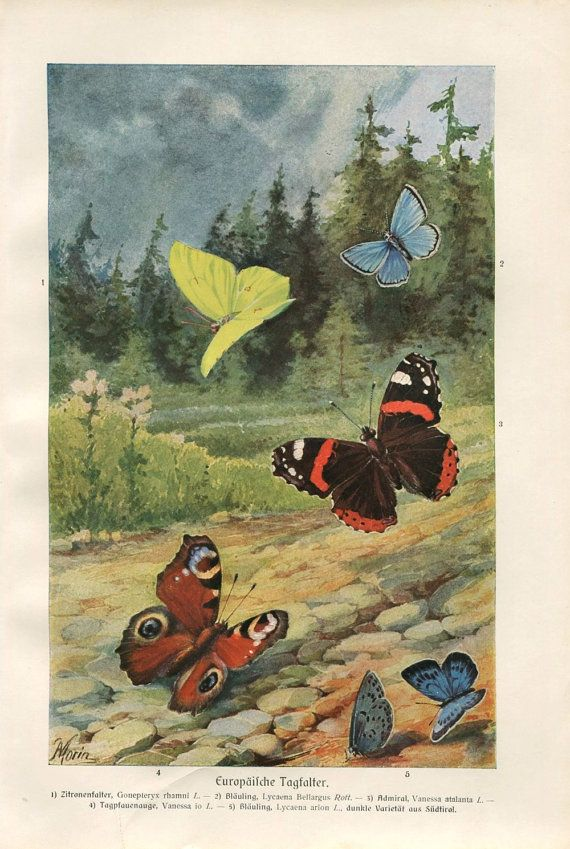 European Butterflies 1920s Vintage Print Brehms by CarambasVintage