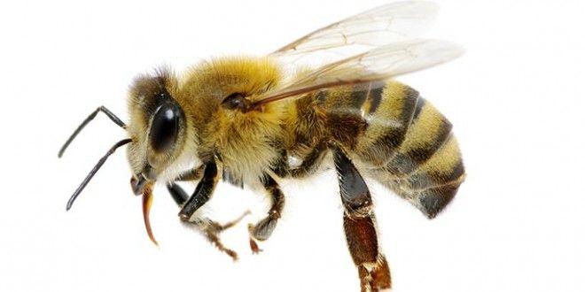 Monsanto dévoile une abeille transgénique résistante aux pesticides néonicotinoïdes