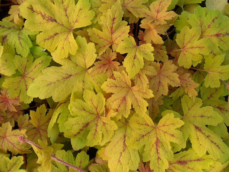 Heucherella 'Sunrise Falls' Plants Perennials