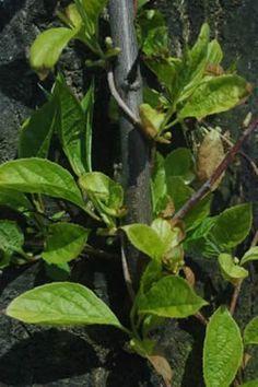 Schisandra Chinensis Medicinal Plants Plants Herbs