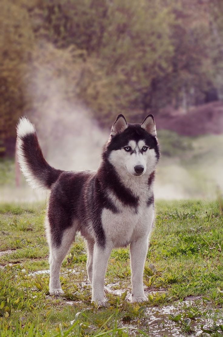 Pin by dog lover on Alaskan Malamute Siberian husky dog