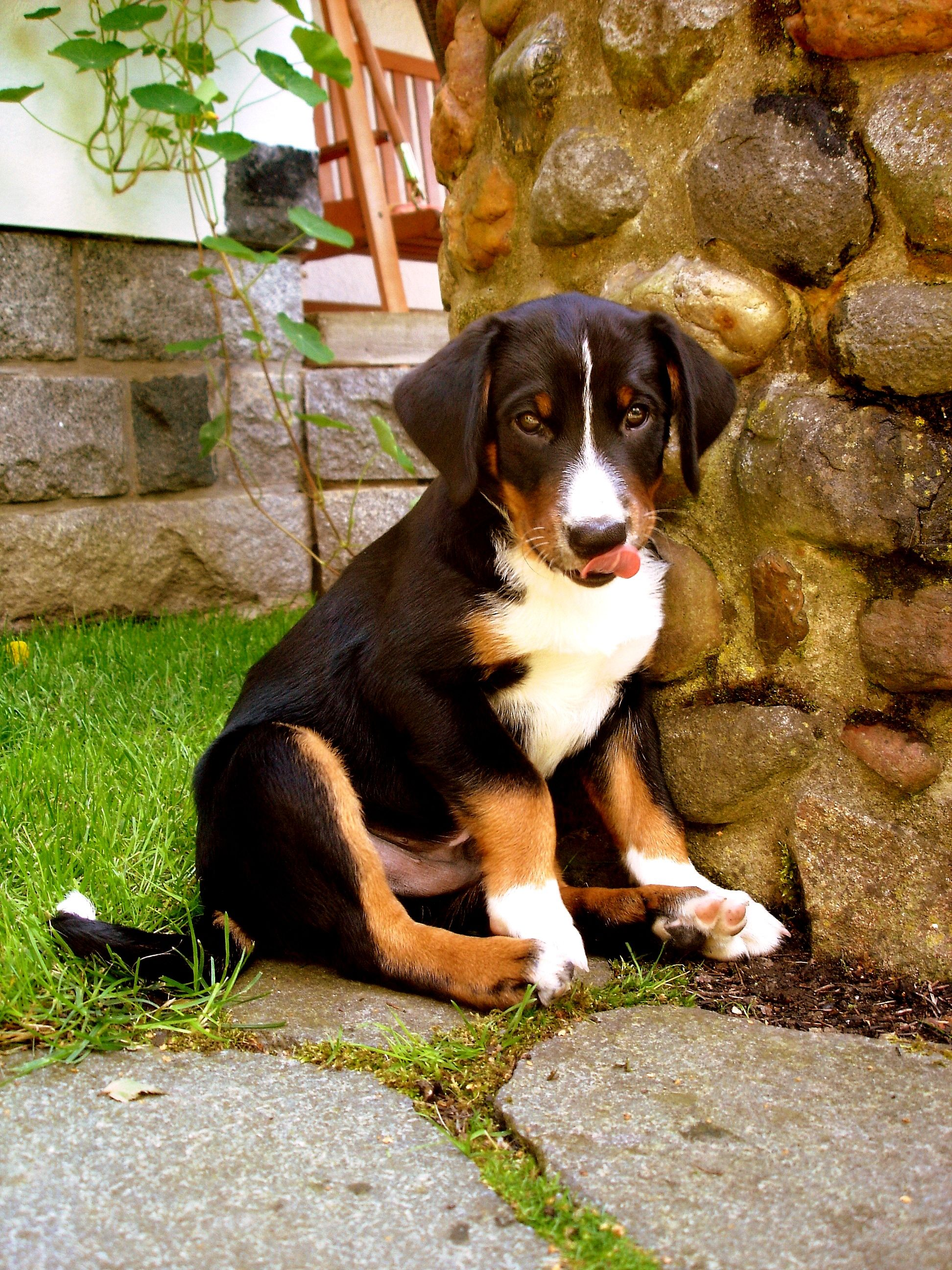 Appenzeller Sennenhund Puppy Dogs Mountain Dogs Dog Breeds