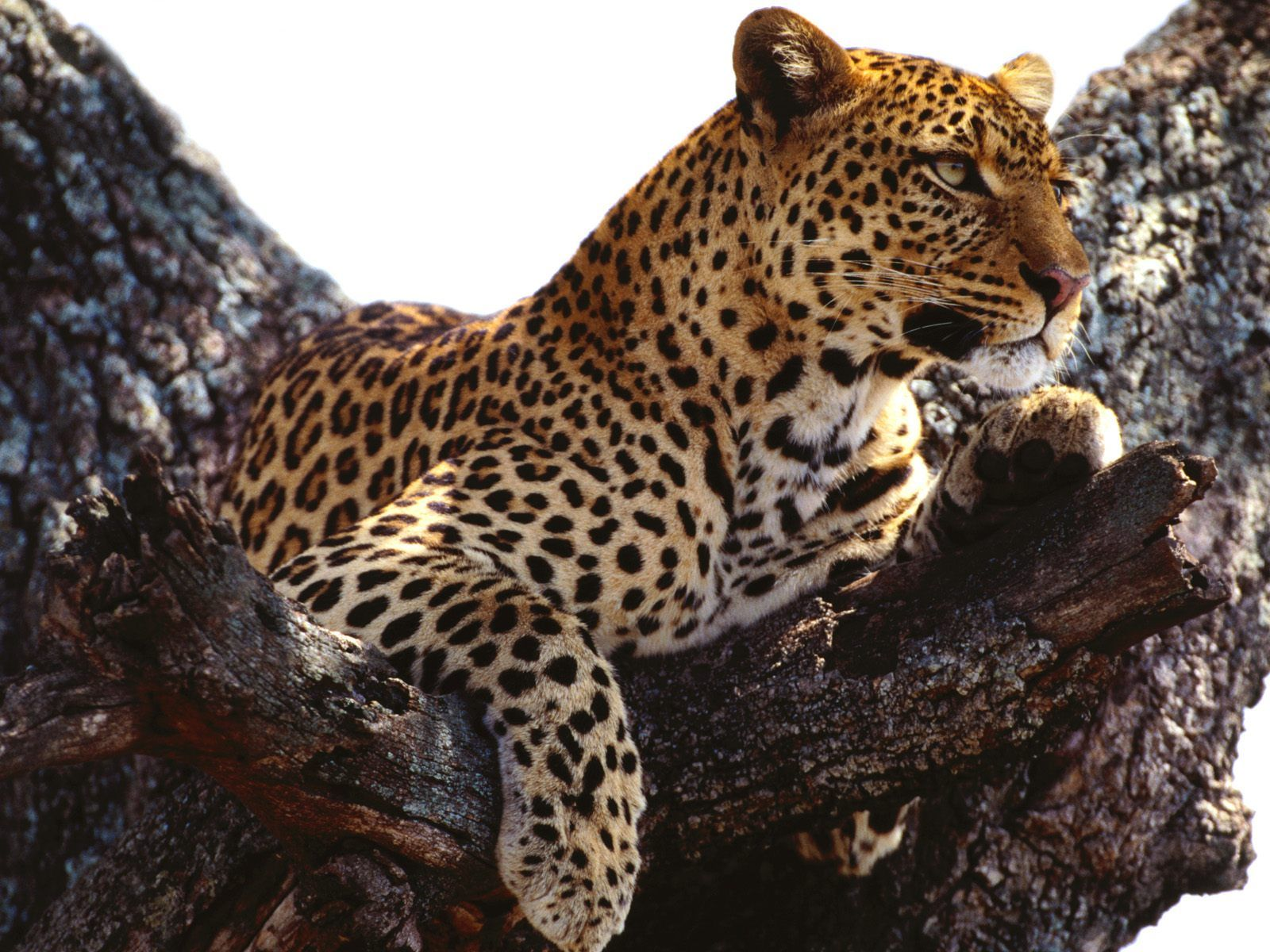 Wild African Leopard Nature Hd Wallpaper Funny Pictures