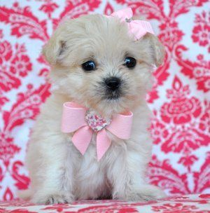 Teacup Peekapoo Puppy Puppies Baby Dogs Cute Dogs