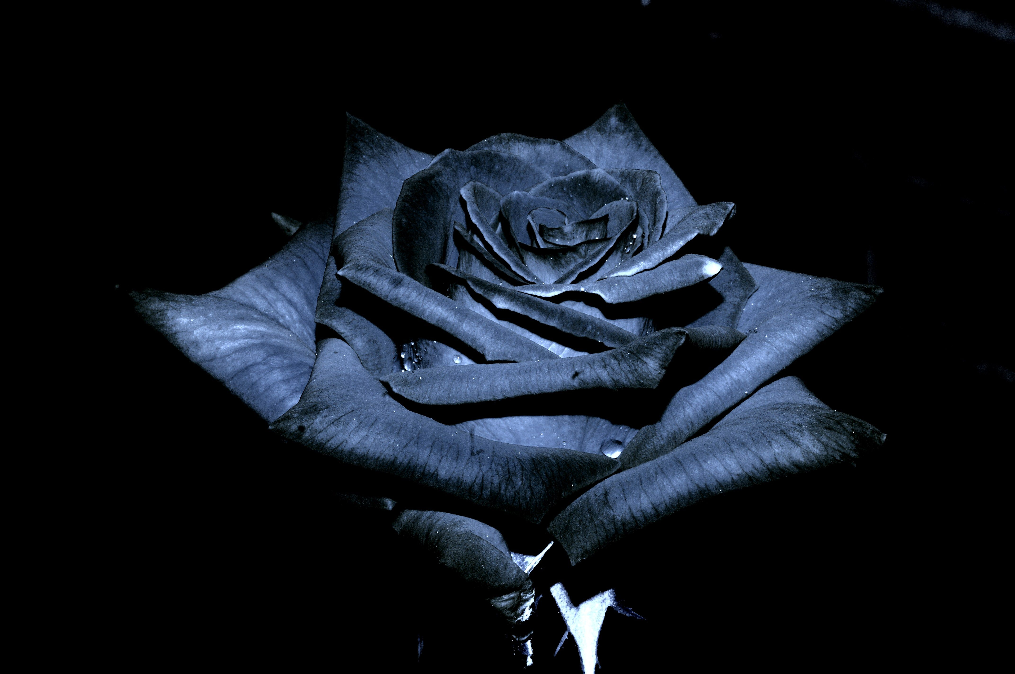 Black Roses The Black Rose Of Texas By Jsf1 Black Roses Wallpaper Black Rose Black Rose Flower