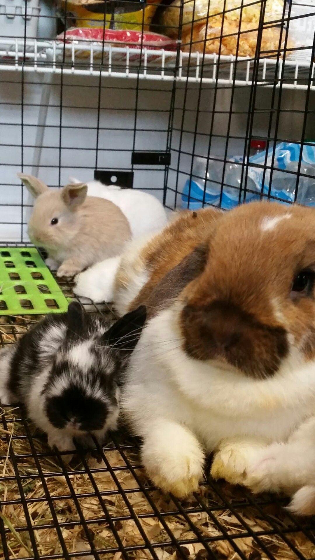 Vienen en todos los tamaños!! July 2016, broken tort holland lops, Maple and Sylvester, holland lop bunnies, lop eared bunnies, holland lop rabbits, black and white bunnies, orange and white bunnies