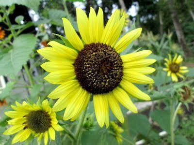 Cara Menanam Bunga Matahari Sampai Berbunga