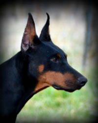 Sunnybrook Ranch Champion Imported Doberman Pinschers And Champion