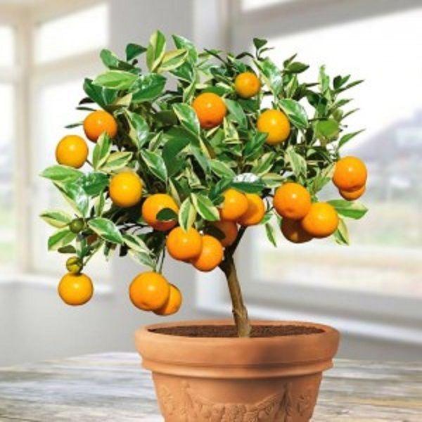 Arbre Oranger Arbres Frutiers Arbres En Pots Cultiver Des Arbres Fruitiers Arbre Fruitier