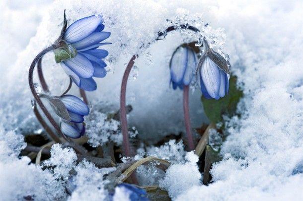 Kevät: Kylmä kylpy   Suomen Luonto