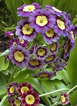 Primula Clumsykoala Ronniejav Reminds Me Of Berk S Fur When You Separate It Lol Primula Auricula Beautiful Flowers Purple Flowers
