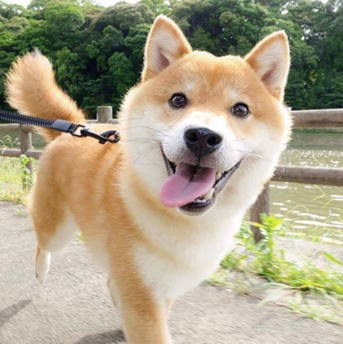 Puppies Dogs Submissions Welcome Shiba Inu Dog Shiba Inu Dog Breeds