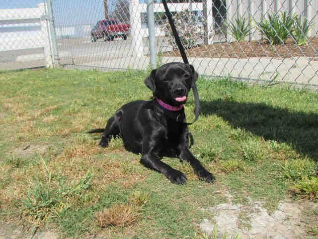 Shadow Is A 1 Year Old Female Smooth Coated Chihuahua Mix Id