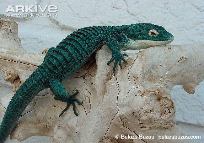 Colorful Pet Lizards Abronia Gramine...
