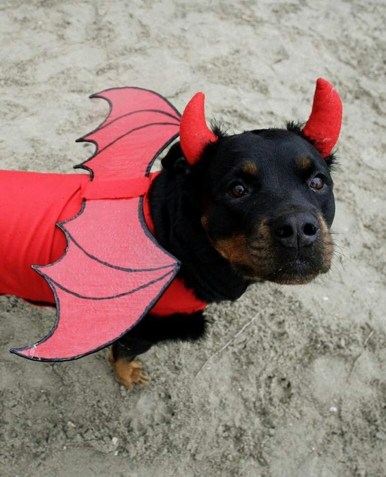 Rottweiler demon :)   #Rottweiler Breed Board   Dogs, Demon
