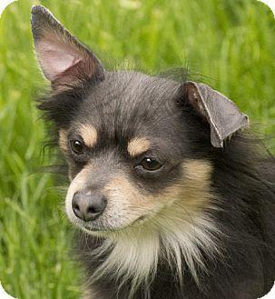 Chicago Il Chihuahua Meet Merlin A Dog For Adoption Http Www Adoptapet Com Pet 13005958 Chicago Illinois Chihuahua Dog Adoption Dogs Pet Adoption