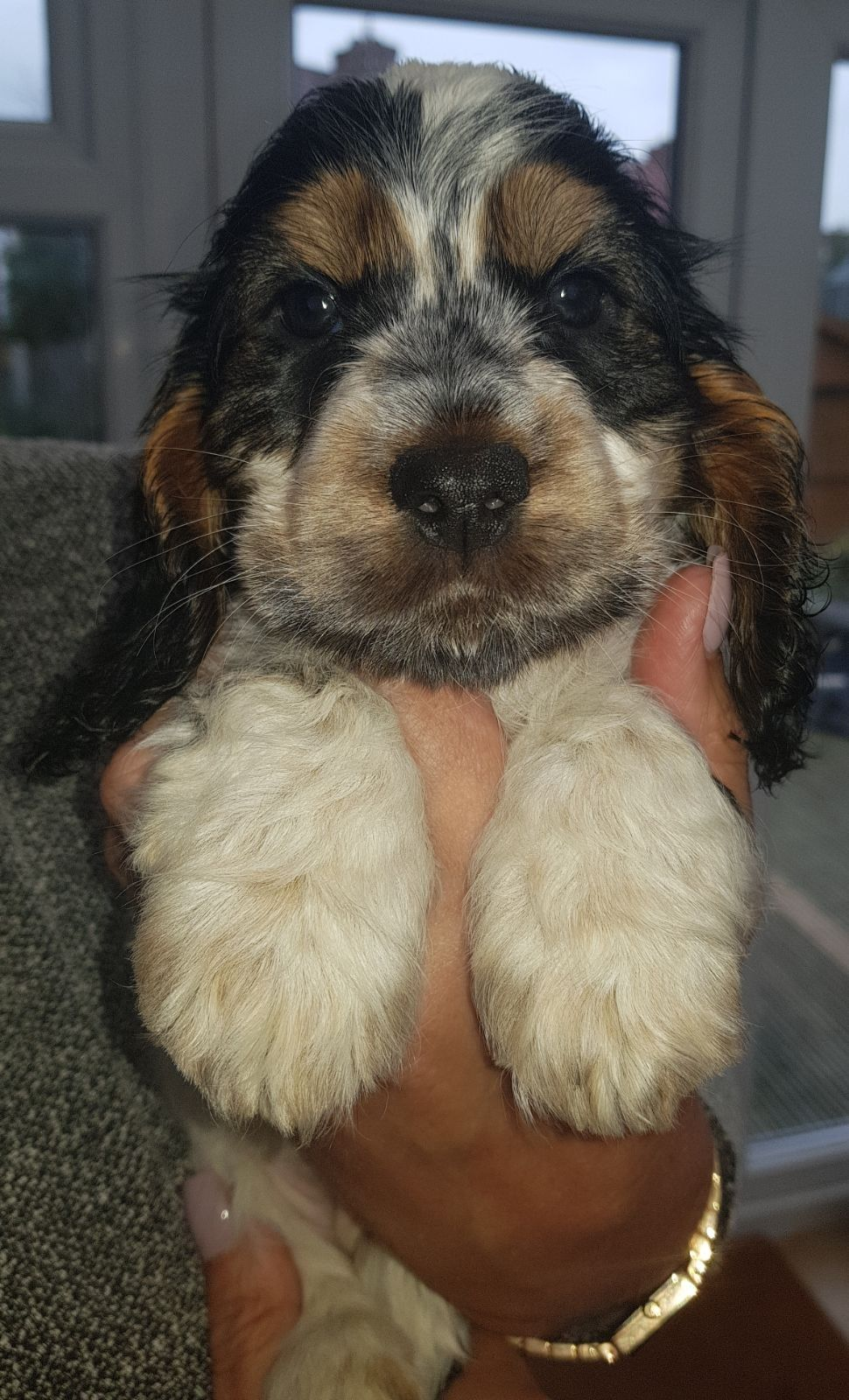 Luna Blue Roan and Tan Cocker Spaniel Puppy | Cocker