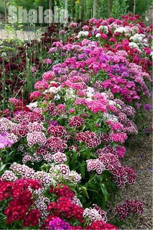Piante Per Aiuole Perenni 100pcs/bag sementes true america dianthus cor mista doce