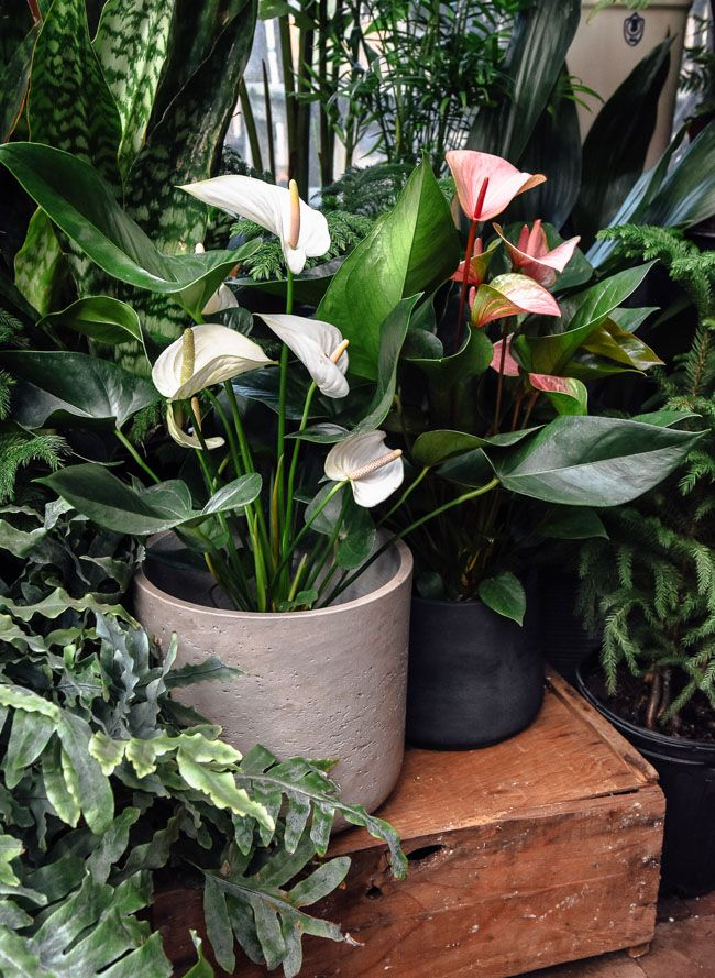 An Introduction To Anthuriums Our 5 Favorite Species And Anthurium Care Anthurium Care Anthurium Plant Anthurium Flower
