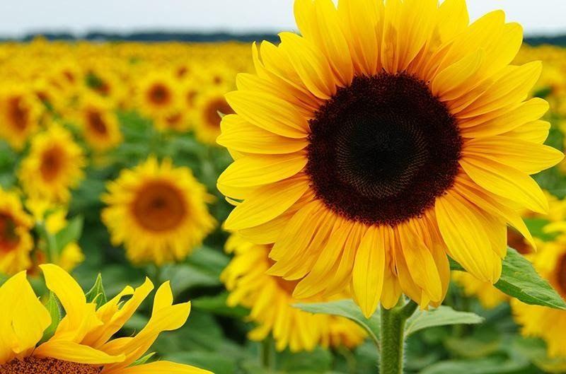 Terkeren 23 Bunga Matahari Meksiko Fakta Unik Bunga Matahari Asmaraku Gratis Bunga Matahari Meksiko Gambar Bunga Menggambar Bunga Matahari Bunga Bunga Indah