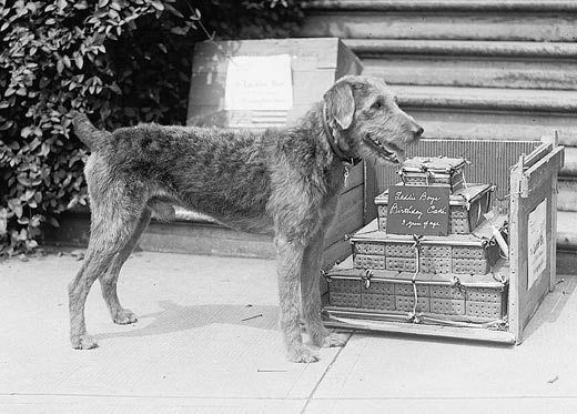 As First Dog, Laddie Boy was worthy of an official portrait. Find out more about Warren Harding's dog Laddie Boy in our article, which also has photos.