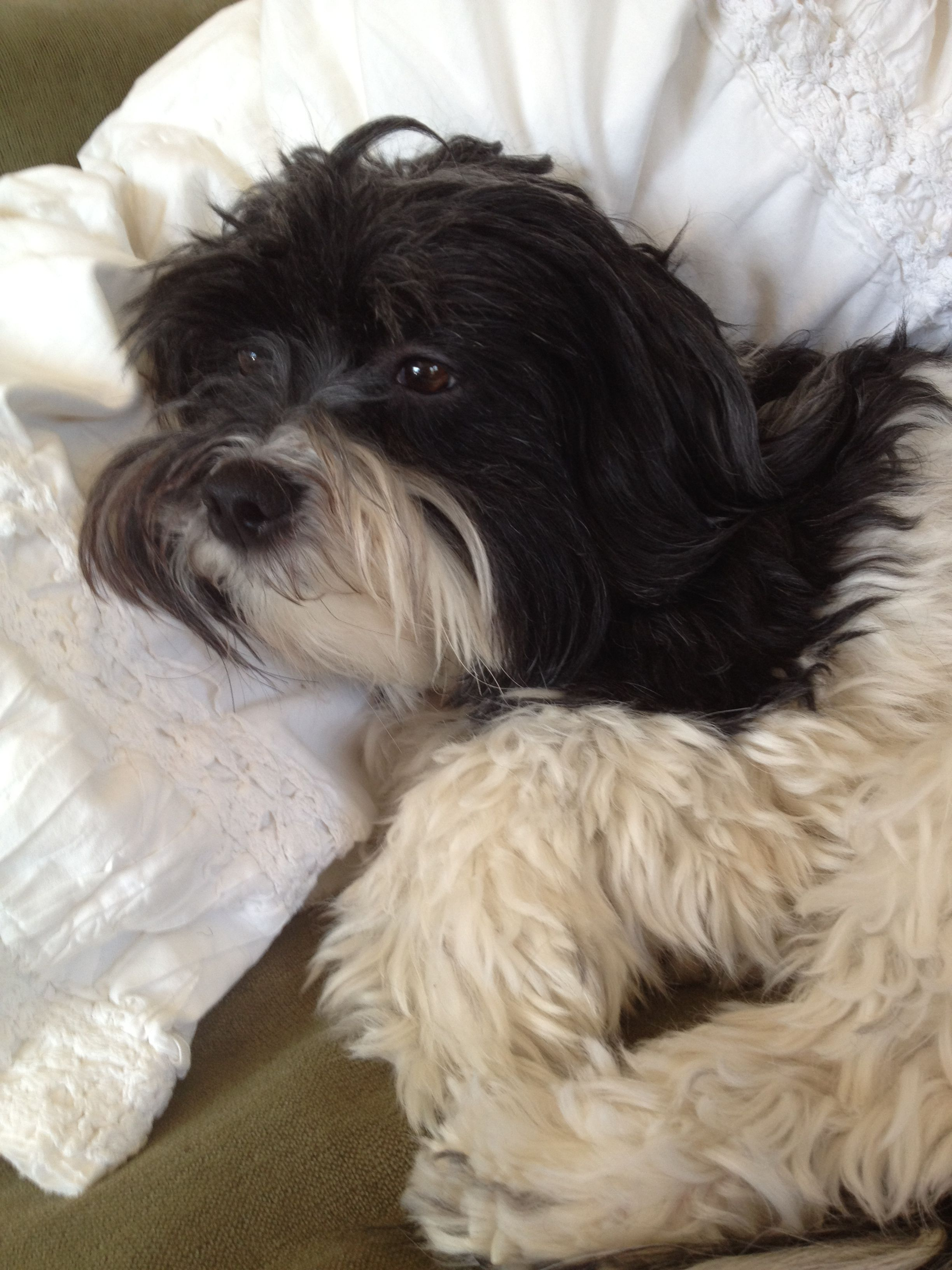 Pin By Rachel Huffman Moore On Havanese Havanese Havanese Dogs Havanese Puppies